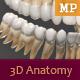 3D Anatomy - Human Teeth - 3DOcean Item for Sale