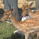 Two Deer 2 - VideoHive Item for Sale