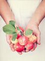 Elderly hands holding organic fresh apples with vintage style - PhotoDune Item for Sale