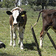 Calves 02 - VideoHive Item for Sale