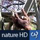 Nature HD | Swinging Orangutan - VideoHive Item for Sale