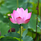Lotus Blossom & Dragonfly Package - VideoHive Item for Sale
