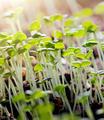Thyme Seedlings - PhotoDune Item for Sale