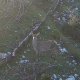 Deer on the Mountain - VideoHive Item for Sale