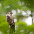 Majestic hawk perching on a dead tree - PhotoDune Item for Sale