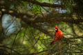 Northern cardinal (Cardinalis cardinals) - PhotoDune Item for Sale