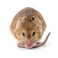 House mouse (Mus musculus) - PhotoDune Item for Sale