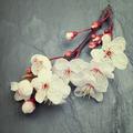Beautifull spring cherry blossom flowers on a dark tile slate b - PhotoDune Item for Sale