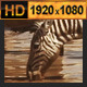 Zebra Group at Waterhole - VideoHive Item for Sale