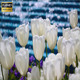White Tulips And Waterfall - VideoHive Item for Sale