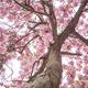 Flowering Tree - VideoHive Item for Sale