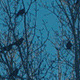 Big Crows On The Trees - VideoHive Item for Sale