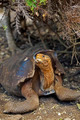 Galapagos tortoise - PhotoDune Item for Sale