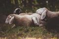 Sheeps Sleeping - PhotoDune Item for Sale