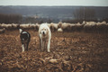 Two Dogs Walking - PhotoDune Item for Sale