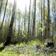 Sunny Birch Forest - VideoHive Item for Sale