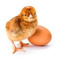 Little newborn brown chicken with egg - PhotoDune Item for Sale