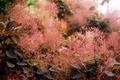 Cotinus 'smoke bush' - PhotoDune Item for Sale