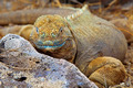 Galapagos land iguana - PhotoDune Item for Sale