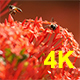 Bee and Ixora Flower - VideoHive Item for Sale