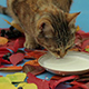 Cat Drinking Milk - VideoHive Item for Sale