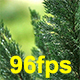 Pine in The Rain - VideoHive Item for Sale