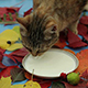 Cat Drinking Milk. - VideoHive Item for Sale
