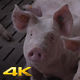 A Group Of Pigs Watching And Sniffing For Food - VideoHive Item for Sale