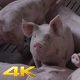 Group Of Pigs Sniffing Around For Food - VideoHive Item for Sale