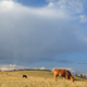 Colorado Cows and Livestock Grazing - VideoHive Item for Sale