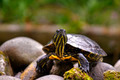 Eastern painted turtle - PhotoDune Item for Sale