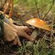 Mushrooming Orange-Cap Boletus - VideoHive Item for Sale