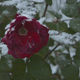 Snow Falling On Red Rose - VideoHive Item for Sale
