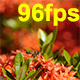 Bee and Ixora Flower 02 - VideoHive Item for Sale