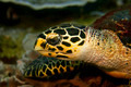 Hawksbill turtle - PhotoDune Item for Sale