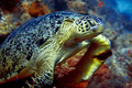 Green turtle - PhotoDune Item for Sale