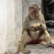 Monkey Eating Fruit - VideoHive Item for Sale