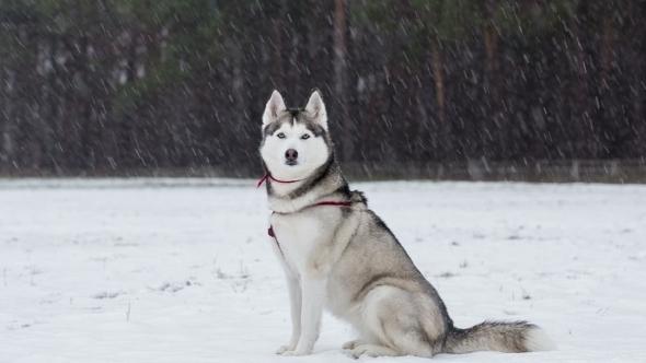 Siberian Husky Saunters In Snowy Weather.