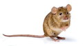 House mouse standing (Mus musculus) - PhotoDune Item for Sale