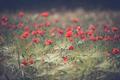 Red poppy field - PhotoDune Item for Sale