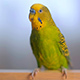 A Green Budgerigar - VideoHive Item for Sale