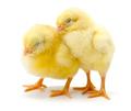 Pair of sleepy newborn yellow chickens - PhotoDune Item for Sale