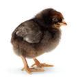 Lonely newborn black chicken standing - PhotoDune Item for Sale