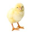 Lonely newborn yellow chicken standing - PhotoDune Item for Sale