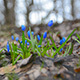 Blue Snowdrops Flower in the Forest 2 - VideoHive Item for Sale