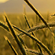 Field of Wheat - VideoHive Item for Sale