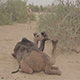 Baby Camel - VideoHive Item for Sale