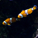 Clownfish Tropical 01 - VideoHive Item for Sale