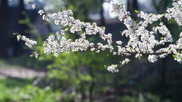 Gentle White Flowers Of Fruit Tree
