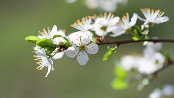 Gentle White Flowers Of Fruit Tree.